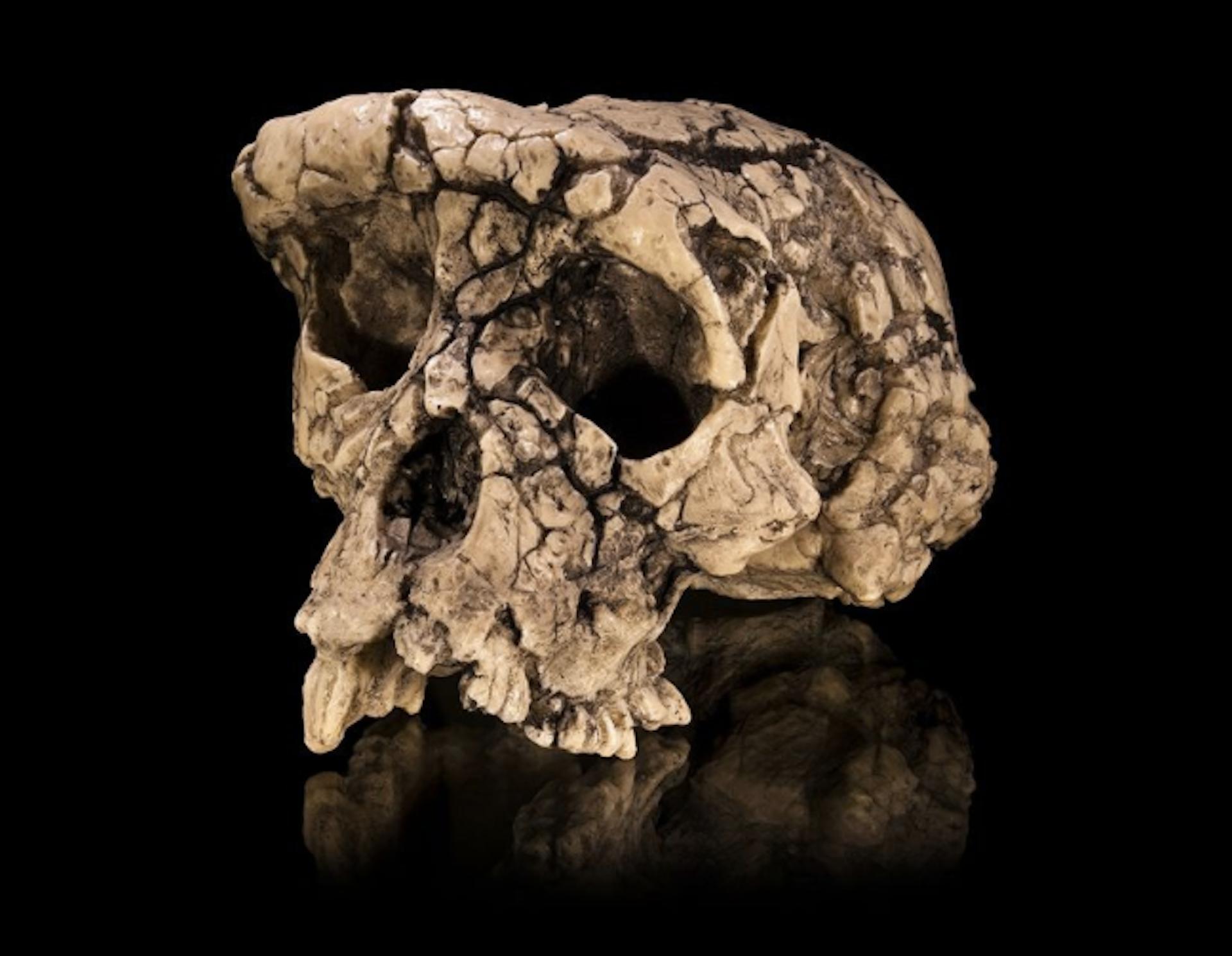 جمجمة مصنوعة للساهلانثروبوس (Sahelanthropus)، وهو أول المخلوقات القائمة الشبيهة بالقرود التي عاشت قبل سبعة ملايين سنة. Didier Descouens, CC BY-SA