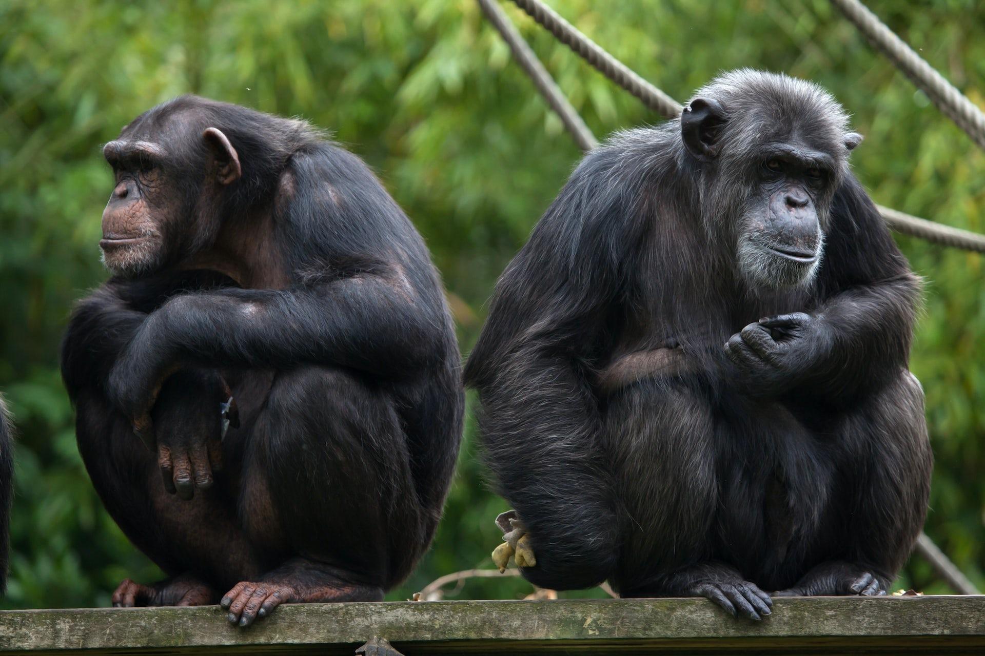 البشر يتشاركون في 99% من جيناتهم مع الشمبانزي، أقرب أقربائنا. Shutterstock