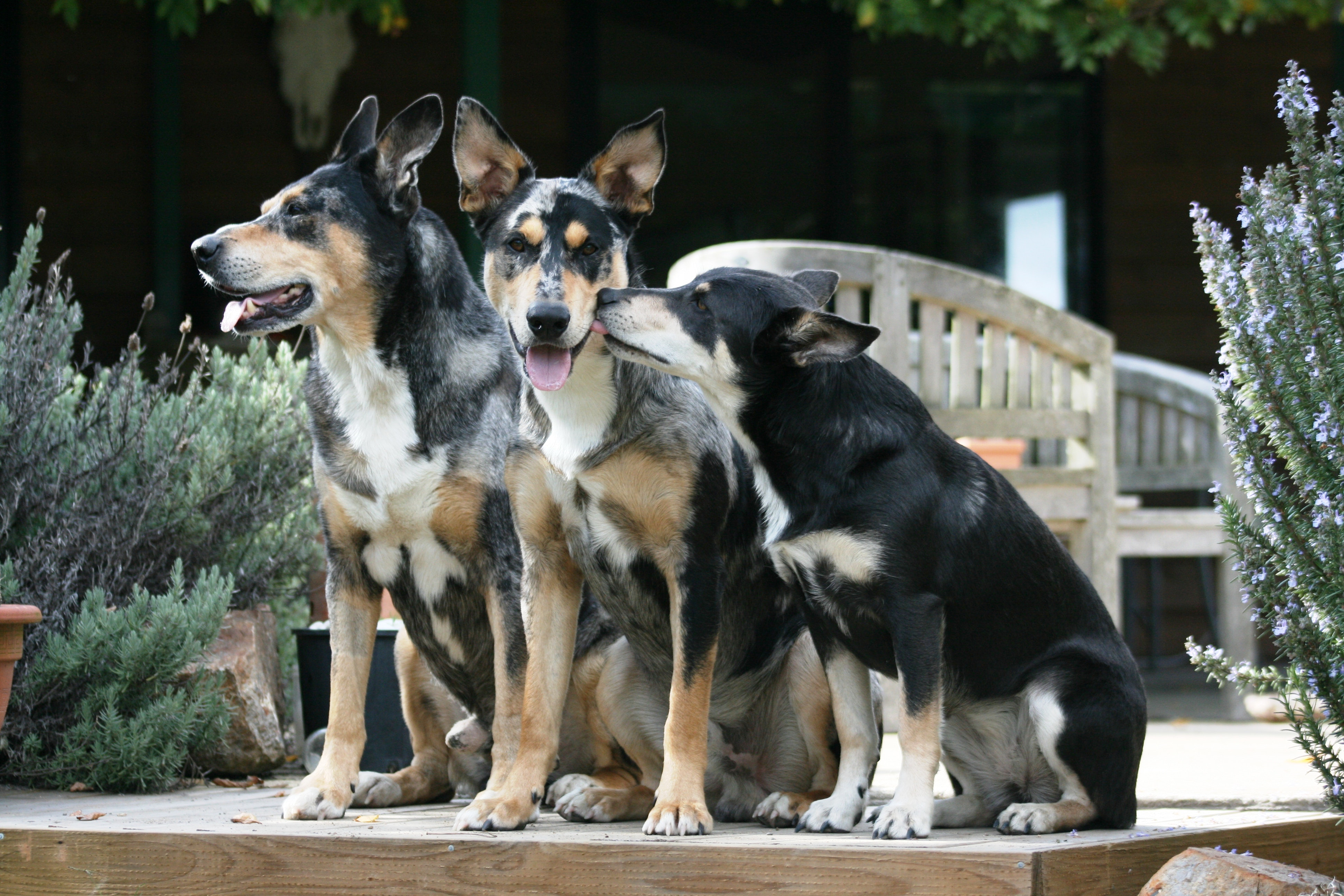 Picture of three dogs sitting together